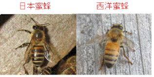 ニホンミツバチと西洋ミツバチの違い